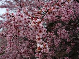 tree with pink flowers purple pink plum tree flowering trees free nature pictures by