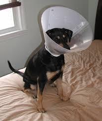 file piper dog cone second degree skunk spray burns jpg