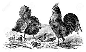 hen rooster and vintage engraved illustration la vie