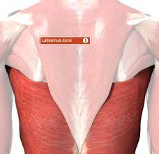The Human Anatomy Muscles Best 25 Muscular System Ideas On Pinterest Human Muscular