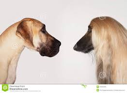 afghan hound great dane and afghan hound face to face stock photo image 31840440