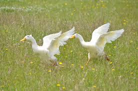 royal pekin ducks farm white pekin ducks for sale in hyderabad india