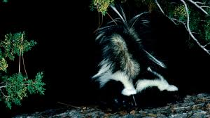 why you are smelling skunks this week u2013 cool green science