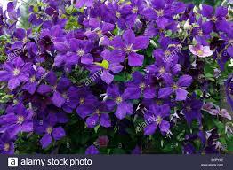 flowering clematis x jackmanni growing on trellis in garden