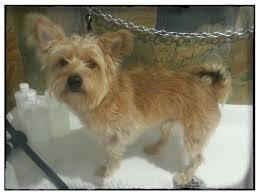 Dog Grooming Styles Haircuts Dog Groomer U0027s Blog Coquitlam Aviva Dogspaw Dog Grooming Coquitlam