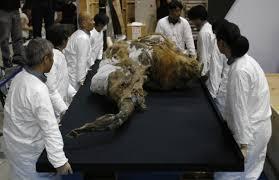 rare 39 000 woolly mammoth display japan ny