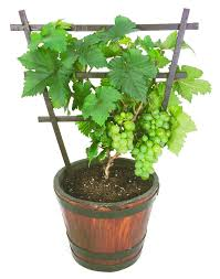 pixie grapes in container a real cutie