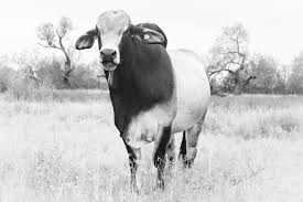 Cow Home Decor Brahma Bull Fine Art Photography Black And White Ranch House Chic