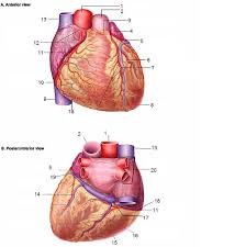 Human Ear Anatomy Quiz Coronary Vessels Quiz By Thebrend88