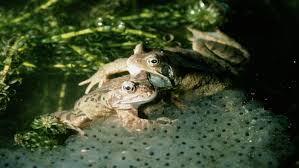 why do frogs lay their eggs in water reference com