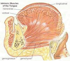 Anatomy And Physiology Of Speech Tongue Muscles Anatomy U0026 Physiology Speech Pinterest Tongue