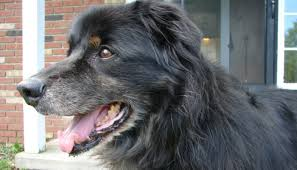 shaving a australian shepherd what you need to know before shaving your dog puppy leaks