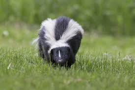 How To Get Rid Of A Skunk In Your Backyard How To Identify Different Types Of Skunks Terminix