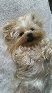 best 25 yorkie ideas on pinterest yorkie haircuts yorkshire