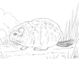 cute long tailed chinchilla coloring page free printable