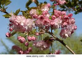 flowers on an ornamental flowering cherry tree prunus shizuka or