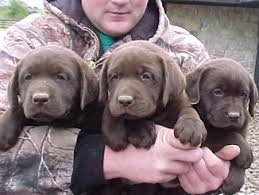 labrador retriever breeder lab breeders labrador puppies sale