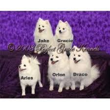 american eskimo dog breeders perfect grace kennels american eskimo dog breeder in south paris