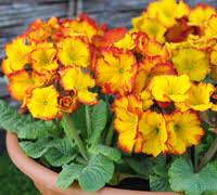 Plants For Winter Window Boxes - top 10 winter bedding plants thompson u0026 morgan