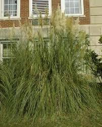 bottom ornamental grasses