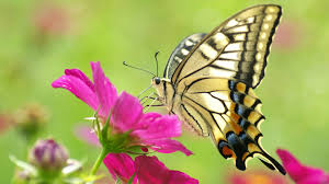 butterfly with flowers wallpapers al080b alhuda wallpaper