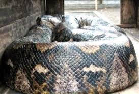 film ular phyton 10 ular terbesar di dunia yang ganas dan berbahaya dosenbiologi com
