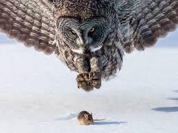 owl and mouse minnesota