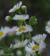 tennessee native plants clay and limestone erigeron philadelphicus for national