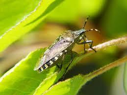 was ist das für ein insekt eine wanze oder was urlaub insekten schildwanze wanze insekt kostenloses foto auf pixabay