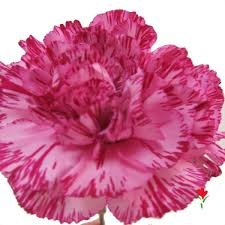Purple Carnations 98 Best Flowers Carnations Images On Pinterest Types Of Flowers