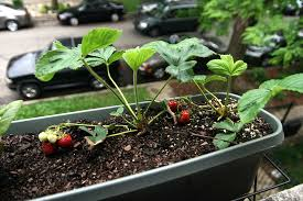Container Gardening For Food - container gardening for urban preppers growing your own food