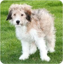 afghan hound poodle cross tyler adopted puppy howell mi sheltie shetland sheepdog