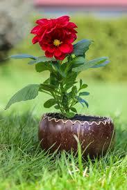 dalia in vaso fiore rosso della dalia in vaso di legno fotografia stock