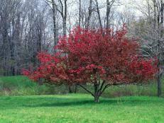 ornamental cherry trees guide to ornamental cherry trees hgtv