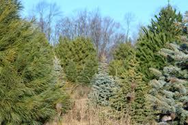 file christmas tree farm with spruce pine fir 31271625862 jpg
