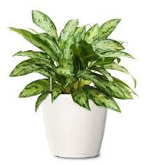 decorative ornamental plant ornamental plant shree samarth