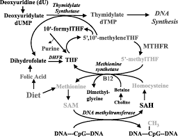 folate and dna methylation a mechanistic link between folate