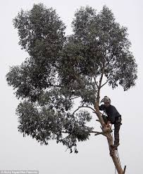 fearless worker chops branches of eucalyptus tree 100ft in the air