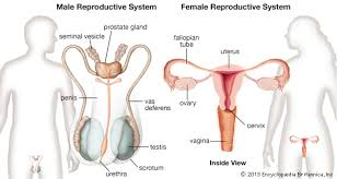 Female Sexual Anatomy Pictures Reproductive System Female And Male Reproductive Systems Kids