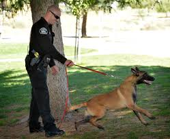 belgian malinois police behind the badge meet the fullerton pd u0027s new k9 and be sure