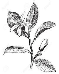 oranges clipart black and white orange flower and leaves vintage engraved illustration