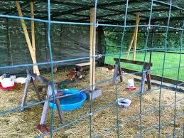 raising pekin ducks countryside network