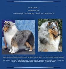 c c australian shepherds louisiana double merle breeders don u0027t want you to see this