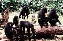 Bonobo Society
