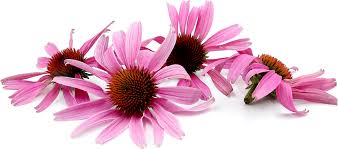 echinacea flower echinacea flowers information recipes and facts