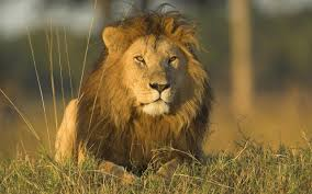 male lion wallpapers wild africa live images hd wallpapers b scb wp u0026bg collection