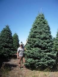 about trees u2013 anthony u0027s christmas trees u0026 wreaths