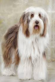 bearded collie x terrier bearded collie photo bearded collie pictures photos pics
