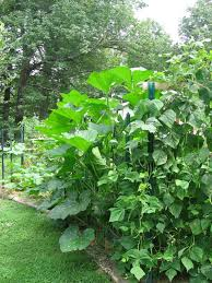 mike u0027s bean patch july 2016
