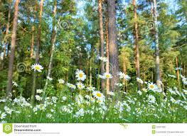 daisies in a forest glade stock photo image 50027596